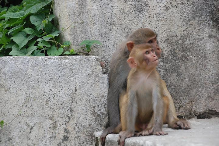 Nepal - Kathmandu - Monkeys