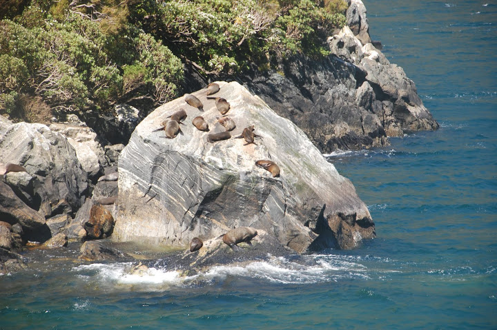 New Zealand - Milford Sound - Seals