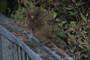 New Zealand - Kea Bird