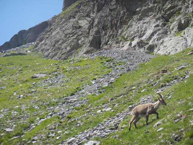 An ibex!