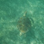 Snorkeling with Sea Turtles in Akumal