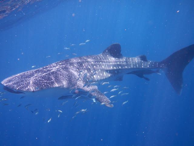 Australia - Exmouth - Whale Shark 1