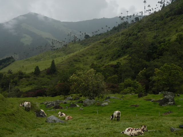 Colombia - Salento - Cocora Valley Cows