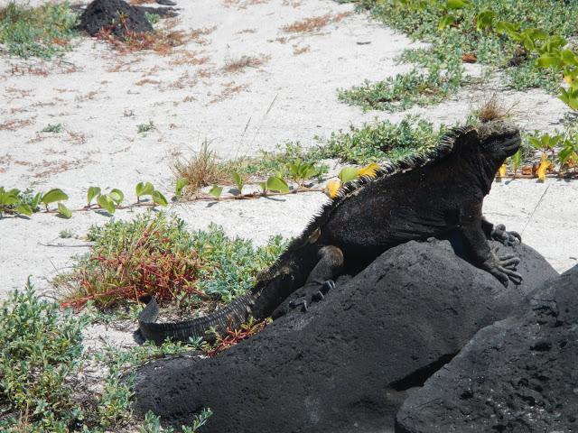 Ecuador - Galapagos - San Cristobal - Marine Iguana