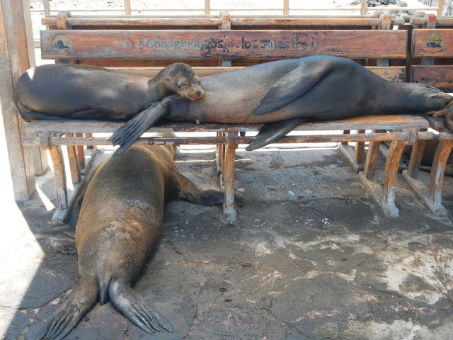 Ecuador - Galapagos - San Cristobal - Sea Lions on a Bench