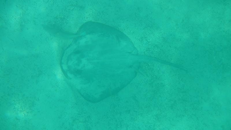Ecuador - Galapagos - Isabela - Eagle Ray