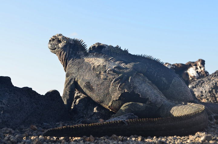 Ecuador - Galapagos - Isabela - Marine Iguana Mates