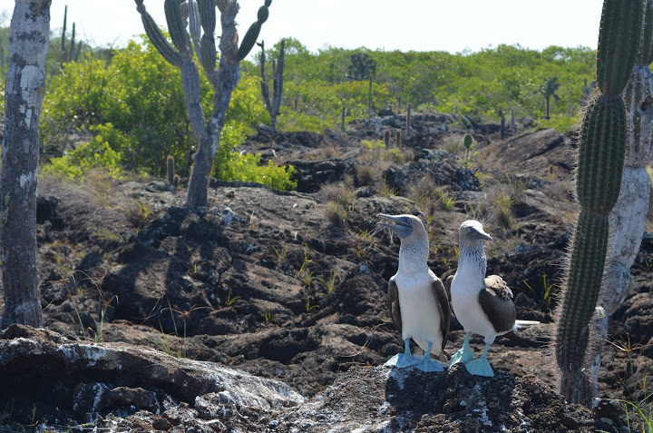 Ecuador - Galapagos - Isabela - Blue Footed Boobies