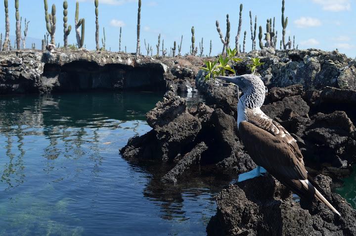 Ecuador - Galapagos - Isabela - Blue Footed Boobie