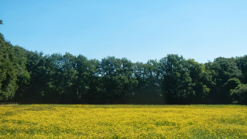 Netherlands - Utrecht to Nijmegen - Yellow Field
