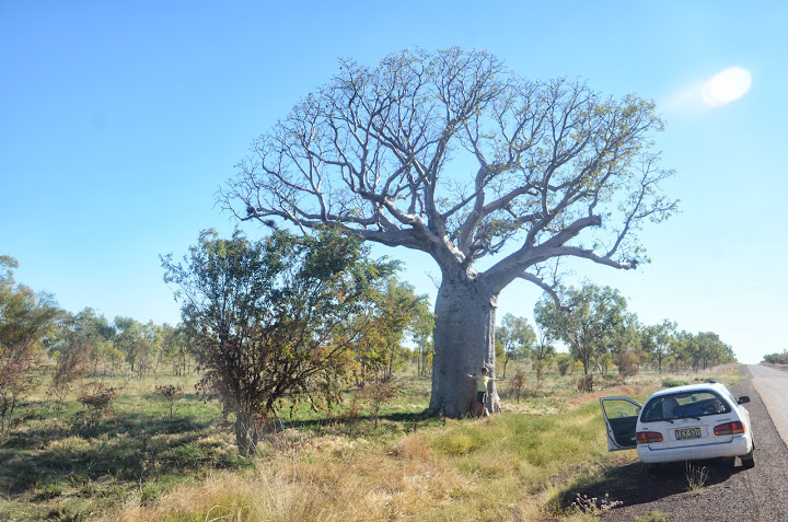A massive boab tree in the Kimberley.