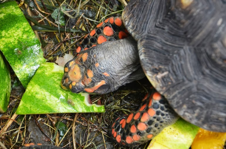 Antigua - Turtle with Orange Spots