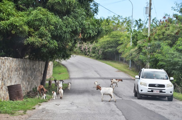 Antigua - Goat Crossing