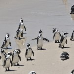 Penguins in Africa?