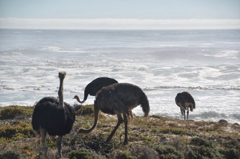 Wild ostriches near the Cape of Good Hope