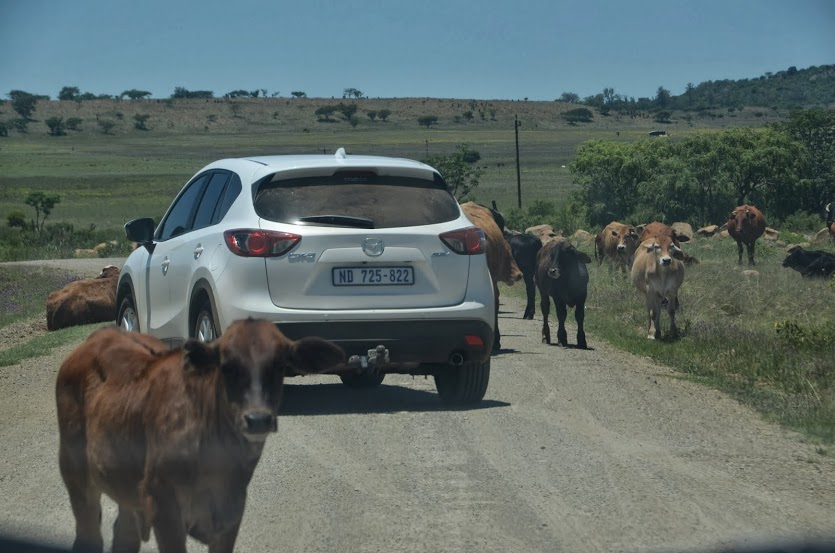 Dodging cows on the road to Nambiti