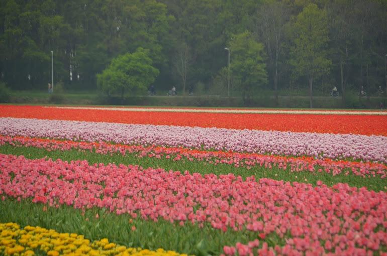 Netherlands - Lisse - Tulips