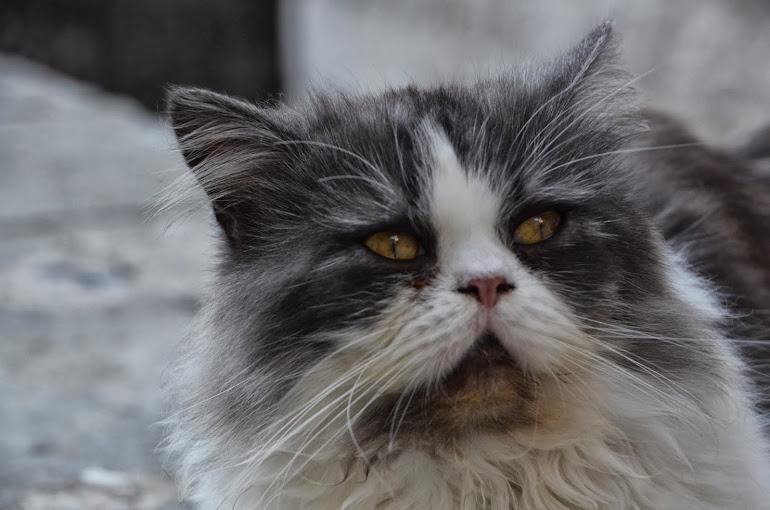 Montenegro - Kotor - Cat